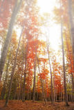 Autumn foggy forest Stock Photos