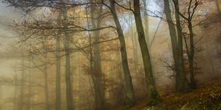 Autumn foggy forest. Foggy Autumn Forest colorful leaves Royalty Free Stock Photo