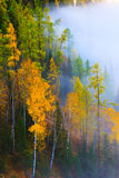 Autumn foggy forest, Kanas, Xinjiang China Royalty Free Stock Photo