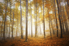 Autumn foggy forest landscape royalty free stock images