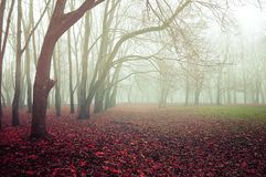 Autumn foggy forest landscape with old bare autumn trees and fallen red autumn leaves on the ground. Autumn landscape - foggy forest with old bare trees and Stock Images