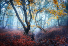 Autumn foggy forest. Mystical autumn forest in blue fog stock images