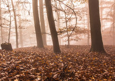 Autumn foggy forest. Mystical  Foggy Autumn Beech trees Forest Royalty Free Stock Image