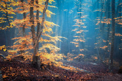 Autumn foggy forest. Mystical autumn forest in blue fog royalty free stock photography