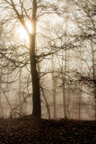 Autumn foggy forest. Mystical  Foggyand sunlight  Autumn  Forest Stock Image