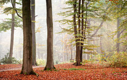 Autumn Foggy Forest. Autumn scenery of  trees in a foggy day royalty free stock images