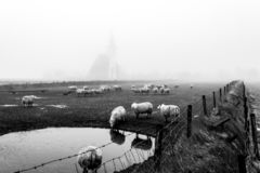 Autumn foggy morning, sheep in front of the church of Den Hoorn on Texel island in the Netherlands stock photos