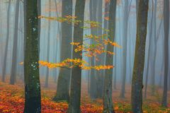Autumn foggy mystical forest, fall colors nature background. Autumn foggy mystical forest, bright fall colors nature background suitable for wallpaper stock photo