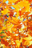 Autumn foliage. Bright autumn foliage close up Stock Image