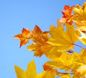 Autumn foliage. Autumn yellow and red maple leaf on blue Royalty Free Stock Photos