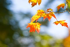 Autumn foliage Royalty Free Stock Image