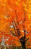 Autumn foliage. Maple in autumn Royalty Free Stock Photo