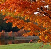 Autumn foliage. Colorful maple in the Greenbrier State Park. Maryland Royalty Free Stock Photography