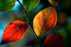 Autumn foliage. Colourful tree leaves in the autumn Stock Photos