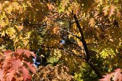 Autumn foliage. Colored autumn foliage Royalty Free Stock Photography