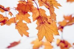 Autumn foliage. Beautiful red maple foliage in autumn Stock Photography