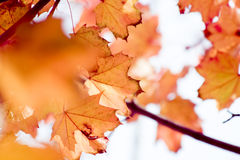 Autumn foliage. Autumn colors - dry maple leafs Royalty Free Stock Images