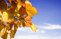 Autumn Foliage. Golden leaves in front of a blue sky Stock Photos