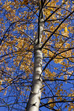 Autumn foliage. Blue sky orange leaves stock images