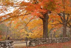 Autumn Foliage. Bright orange colors in trees on an autumn day Stock Photography