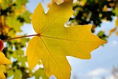 Autumn foliage against the sun Royalty Free Stock Photo