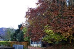 Autumn foliage along a country road. Large tree with autumn foliage along a country road in Dunkeld, Perth and Kinross, Scotland Stock Image
