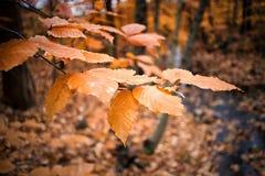 Autumn Foliage anaranjado en árboles Fotos de archivo