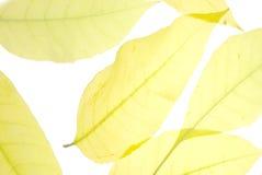 Autumn foliage background. Background with autumn foliage on white background Royalty Free Stock Photography