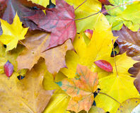 Autumn foliage background. Fall foliage background wish autumn leves Royalty Free Stock Photos