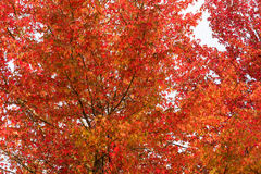 Autumn foliage background. Red maple leaves on tree Royalty Free Stock Photography