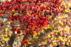 Autumn foliage background. Red maple leaves on tree Royalty Free Stock Photo
