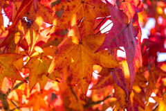 Autumn foliage background. Red maple leaves on tree Stock Photo