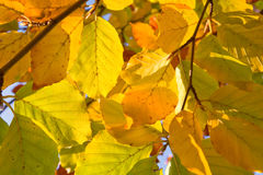Autumn foliage. Stock Photography