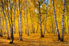 Autumn foliage, birch forest