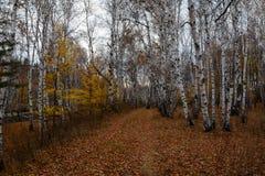 Autumn foliage, birch forest. Autumn yellowed birch forest. Path under a trees in the autumn forest Royalty Free Stock Photos