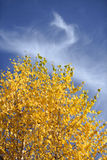 Autumn foliage on birch tree. Gold autumn foliage on branches of birch tree against blue sky with wispy clouds stock photography