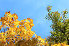 Autumn foliage on blue sky Royalty Free Stock Photography