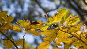 Autumn foliage on blue sky background. Autumn maple twig on blurry background stock video