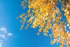 Autumn foliage branch and blue sky Royalty Free Stock Photography