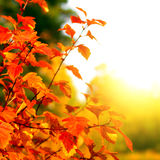Autumn Foliage. With Bright Leaves on the Tree Closeup Stock Photo