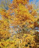 Autumn with a yellow pine tree Stock Images