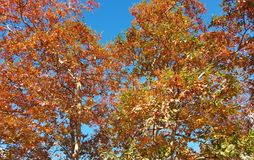 Plane trees in autumn Stock Photography