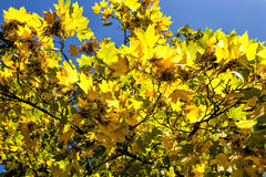 Autumn foliage. Color changing maple leave in autumn stock image
