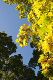 Autumn foliage. Color changing maple leave in autumn royalty free stock image