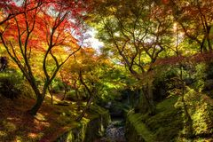 Autumn foliage color at Tofukuji, Kyoto. Red maple foliage touching sunlight in colorful autumn garden of Tofukuji Temple at Kyoto, Japan. Kansai travel Royalty Free Stock Images