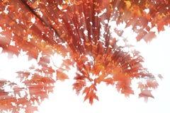 Autumn Foliage. Colorful autumn foliage with sunbeam Stock Photos