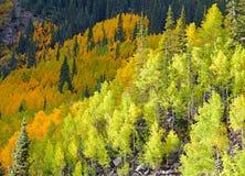 Autumn Foliage com a Aspen amarela dourada fotografia de stock royalty free