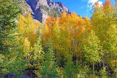 Autumn Foliage com a Aspen amarela dourada fotografia de stock