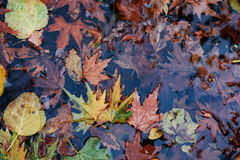 Autumn foliage. Details of autumn foliage in a water pond stock photo