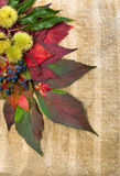 Autumn foliage and an edible chestnuts. Stock Images